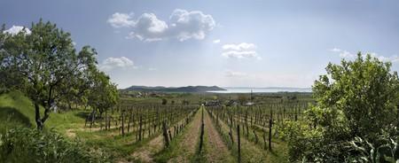 Vineyards in Spring time in Aszofoe at Lake Balaton, Hungary