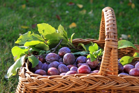 harvest time: Basket of plums and green branches on meadow