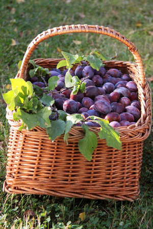 pome: Basket of plums and green branches on meadow