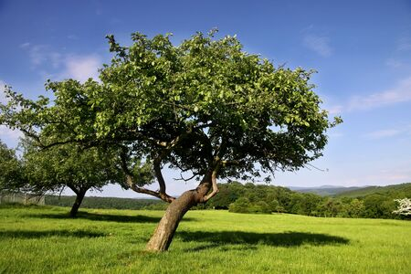 tree growing: Old fruit tree in Orchard in summer time in Germany Stock Photo