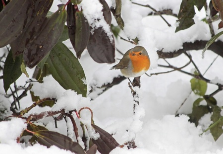 robins: Robin in the snow in the garden at winter time
