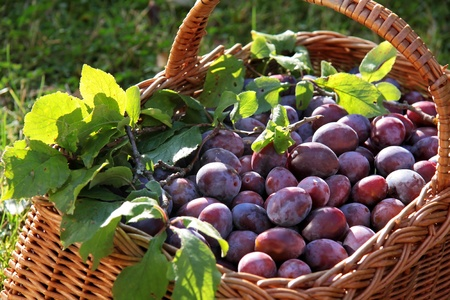 purple leaf plum: Basket of plums and green branches on meadow