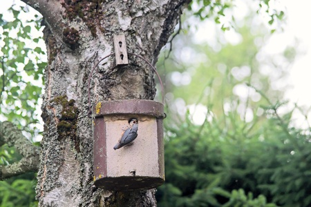 Birdhouse with young nuthatch bird getting feed photo