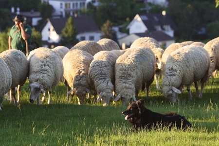 Flock of Sheep in the Taunus mountains in Germany photo