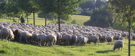 Flock of Sheep in the Taunus mountains in Germany Stock Photo - 11243255