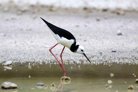 Stilt (Himantopus himantopus) in Rotorua, North Island, New Zealand photo