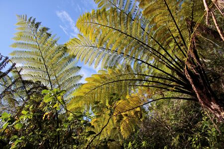 polypodiopsida: Fern trees in the Abel Tasman National Park, New Zealand