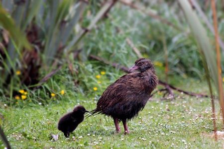 Weka (Gallirallus australis) near Cape Foulwind, Region West Coast,  New Zealand  photo