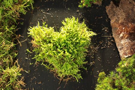 love proof: Light green moss heart on dark stone