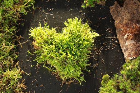 love proof: Light green moss heart on dark stone