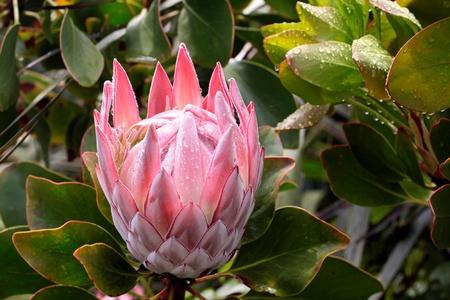 bracts large: King Protea blossom   Protea cynaroides  near Cape Foulwind, Region West Coast,  New Zealand