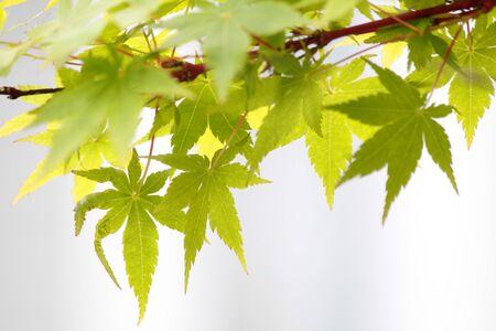 acer palmatum: Maple leaves (Acer palmatum) in New Zealand