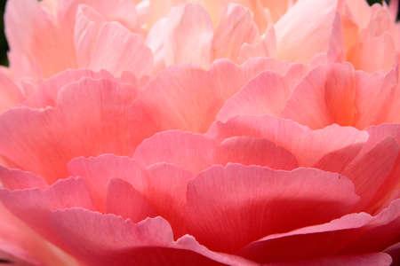 Close-up of light pink teathery rose petals Stock Photo - 13212030