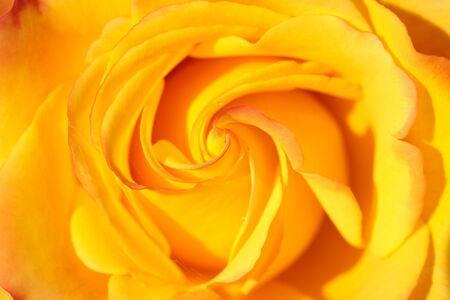 Orange rose in the Botanic Gardens, Canterbury, South Island,  New Zealand Stock Photo - 13401648