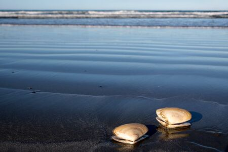 Two sea shells at the beach, Sumner Beach near Christchurch, Canterbury, South Island, New Zealand Stock Photo - 13401652