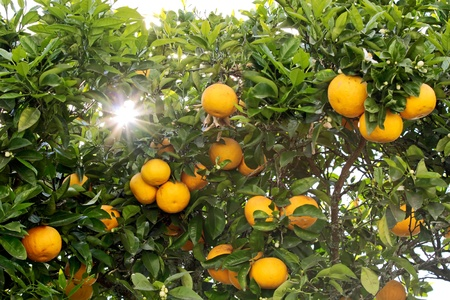 Orange tree in Rotorua, North Island, New Zealand Stock Photo