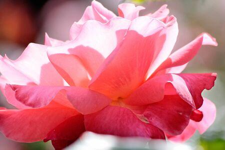 Pink rose in the Botanic Gardens, Canterbury, South Island,  New Zealand Stock Photo - 13793526