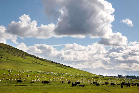 Sheep on green farmland between Queenstown and Te Anau, Southland, South island,  New Zealand photo