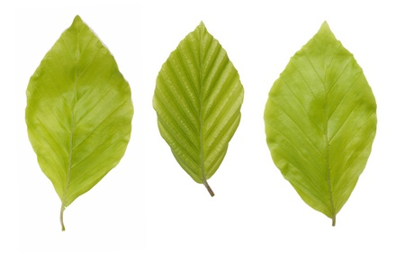 Three young, green leaves of the beech tree