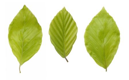 Tre giovani, foglie verdi del faggio Archivio Fotografico