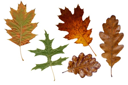 Collage with various colorful autumn leaves of oak trees