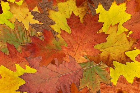 Background with variety of red and yellow autumn leaves of the oak tree photo