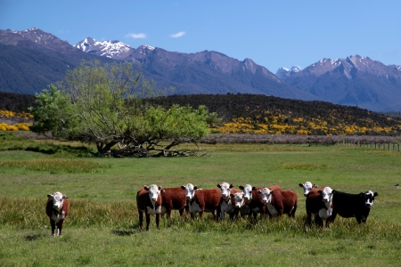 Cattle herd in the Eglinton River Valley,  Southland, South island,  New Zealand photo