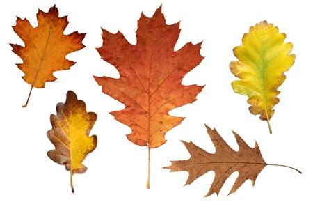 bladeren: Collage met verschillende kleurrijke herfst bladeren van eiken