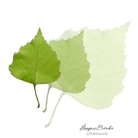 betula pendula: Collage with green leaves of the  birch tree