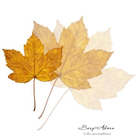 プラタナス: シカモア カエデ エイサー pseudoplatanus の broen 葉のコラージュします。