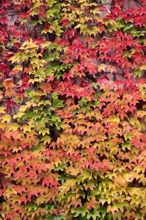 Colored leaves of the wild vine in autumn Stock Photo - 14849329