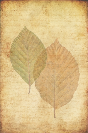 grunge background with autumn leaves of a beech tree photo
