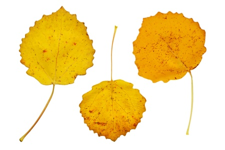 Three yellow autumn leaves of the aspen tree photo