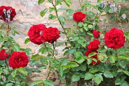 Roses on old wall at Palace Johannisberg in the Rheingau, Hesse, Germany Stock Photo - 14884291