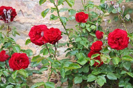 Roses on old wall at Palace Johannisberg in the Rheingau, Hesse, Germany Stock Photo - 14884291