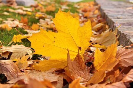 norway maple: Colorful yellow autumn leaves in the grass