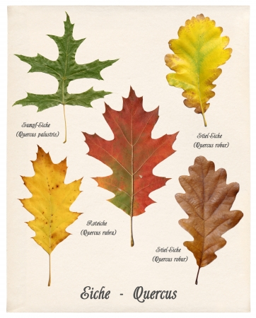 english oak: Collage with various colorful autumn leaves of oak trees on old paper
