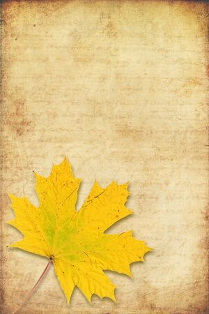 norway maple: grunge background with yellow maple autumn leave  Stock Photo