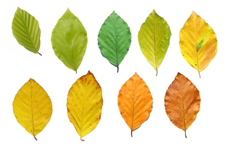 Colorful beech leaves during the course of the year
