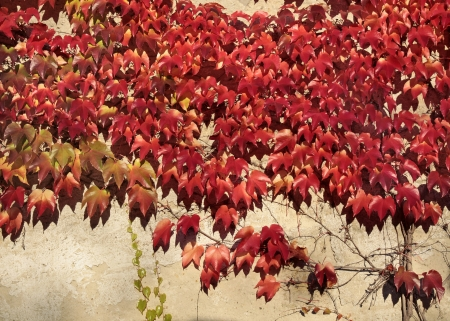 hojas parra: Vid roja deja en una pared en Eltville, Rheingau, Hesse, Alemania