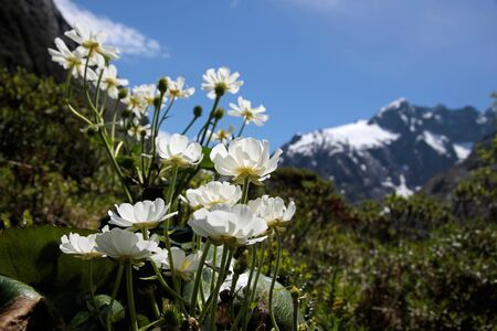 anau: Mount Cook Lilies at the Milford Road, Southland, South island,  New Zealand