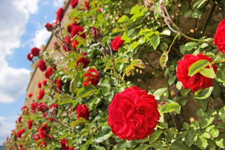 red bush: Roses on old wall at Palace Johannisberg in the Rheingau, Hesse, Germany Stock Photo