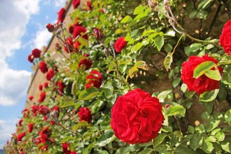 hedge: Roses on old wall at Palace Johannisberg in the Rheingau, Hesse, Germany Stock Photo