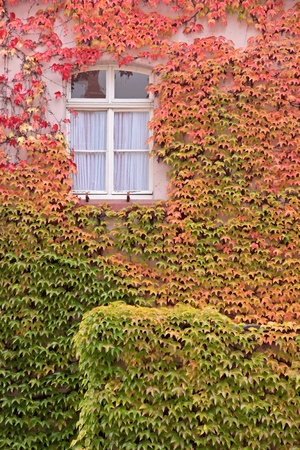 Colored leaves of the wild vine in autumn at St  Goar in the Middle Rhine Valley, Rhineland-Palatinate, Germany photo