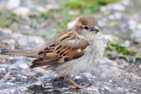 domesticus: Female House Sparrow (Passer domesticus) on stone floor