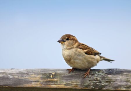 passer by: House Sparrow (Passer domesticus), female sitting on a wooden fence