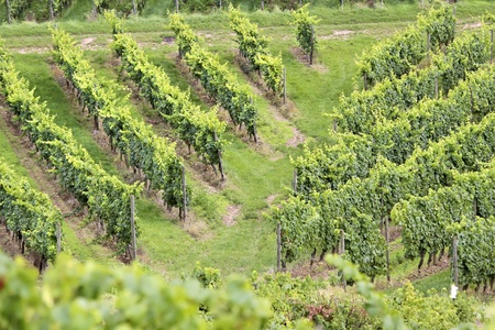 wine grower: Green vineyard in summer in the Rheingau area, Hesse, Germany