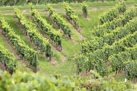 wine grower: Green vineyard in summer in the Rheingau area, Hesse, Germany