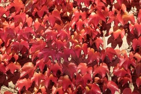 Red vine leaves on a wall in Eltville, Rheingau, Hesse, Germany photo