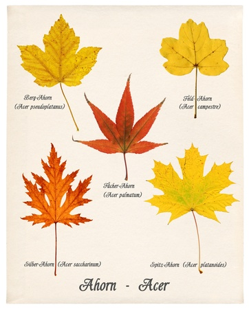 norway maple: Collage with various colorful autumn leaves of maple trees on old paper